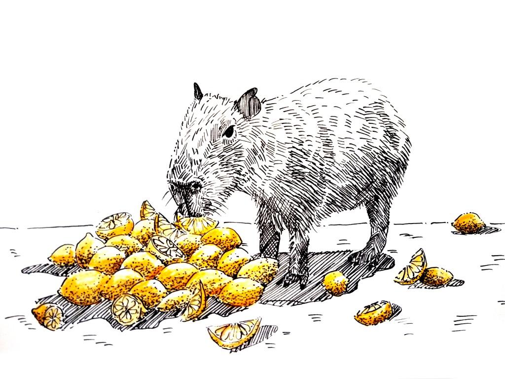 210160 Capybara eating lemons_Melanie Franz