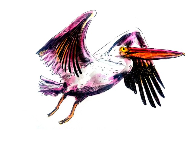 2104-pelican-flight_Melanie Franz